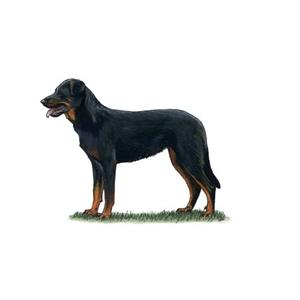100 Pics Quiz Dog Breeds Pack Level 16 Answer 1 of 5